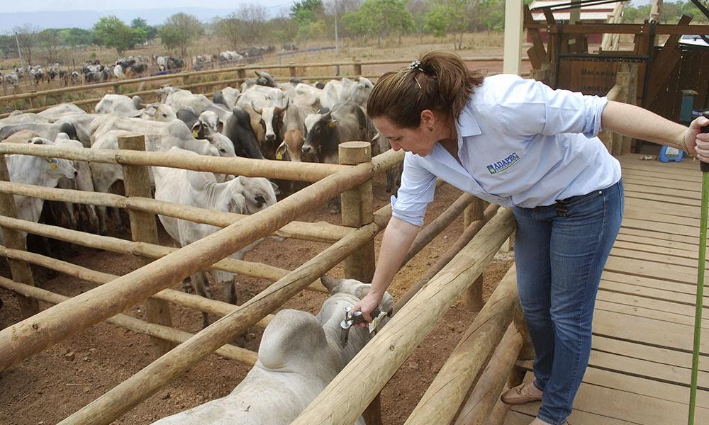 O rebanho tocantinense está estimado em 8,5 milhões de bovinos e bubalinos e a expectativa da Agência de Defesa Agropecuária (Adapec) é que sejam imunizados cerca de 4 milhões de animais de 0 a 24 meses de idade