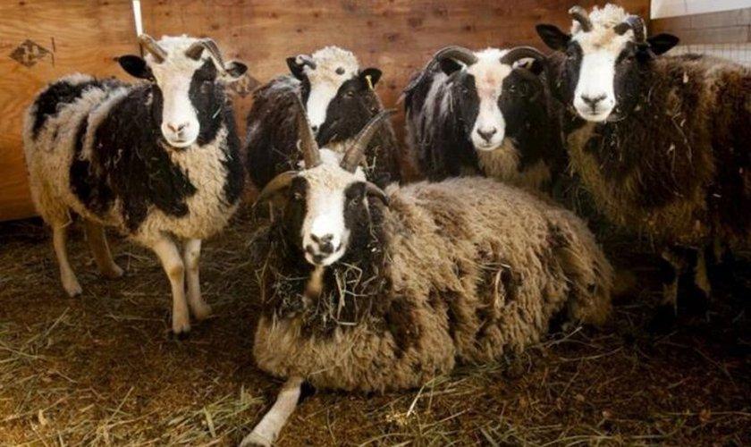 """As 119 ovelhas são consideradas """"herança"""", por preservar grande parte de seus traços genéticos e manter suas características de origem relativamente inalteradas"""